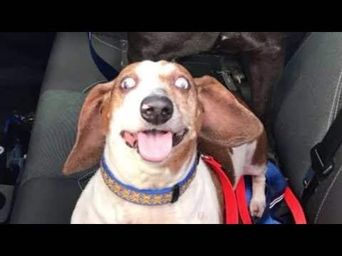 O.J. the blind dachshund and his