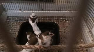 Society finches taking a bath