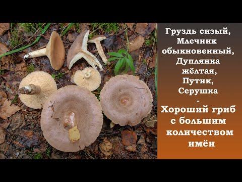 Груздь сизый,  Млечник обыкновенный, Дуплянка жёлтая, Путик, Серушка - хороший гриб!