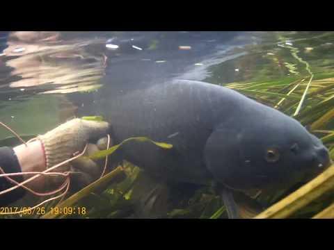 подводная охота  поисках сазана на течении