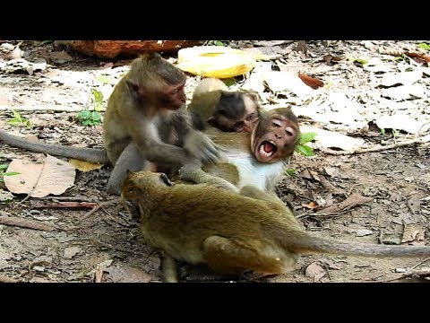 Oops! Hurt! Three Baby monkeys Fighting Donny So hurt like this, They seem playing!
