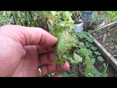 , title : 'Identifying Tomato Leaf Spot and Early Blight - TRG 2014'