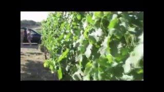 preview picture of video 'כרם ענבי היין - ביקור חטוף בכרם של ייקבי אורטל, רמת הגולן, ישראל'