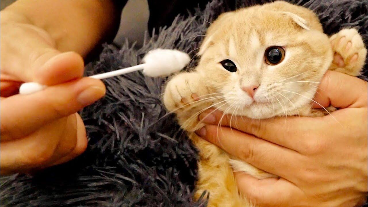 初めて耳掃除をする子猫の反応が可愛すぎた。【短足マンチカン】