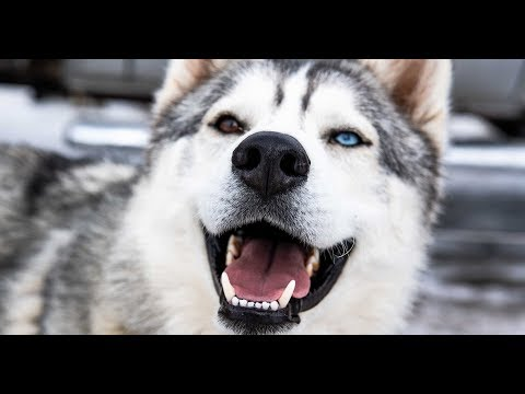 Harnessing Passion: The Arctic Rescue Sled Dog Team - ©  Visit Utah