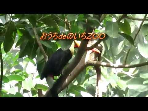 高知県立のいち動物公園 スコールタイムのオニオオハシ