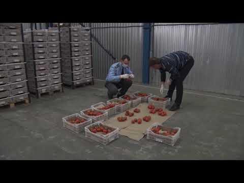 Управлением Россельхознадзора проведен вторичный фитосанитарный контроль поступившей на территорию Ростовской области партии томатов из Туркмении