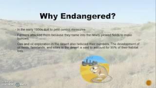 Endangered Kangaroo Rat