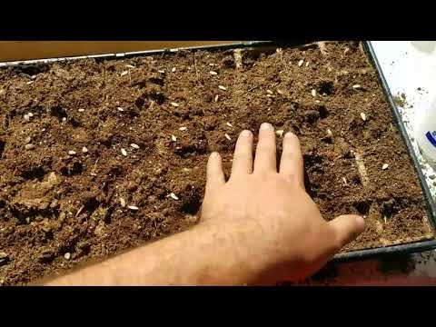 , title : 'How to plant seeds for spring transplanting using seed trays and a soiless medium.