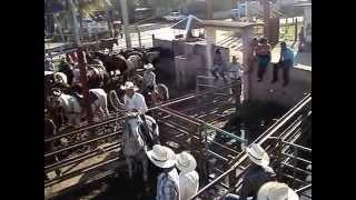 preview picture of video 'Más enlace de ternero del rodeo de Guáimaro 2014'