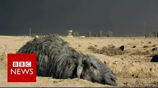 Black sheep of Iraq - BBC News