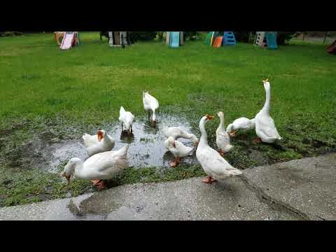 , title : 'White Chinese Geese