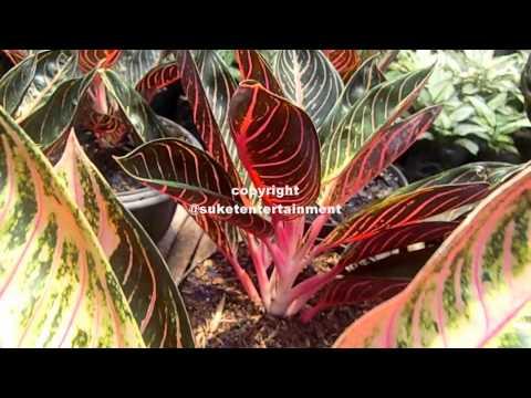 Video Budidaya Tanaman Hias - Pesona Kecantikan Aglaonema Red Sumatra