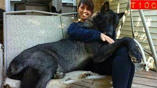 Top 10 razas de perros lobo mas grandes que existen