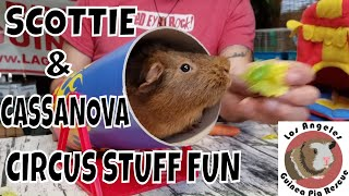 Scotty, Ursula And Cassanova Review The Circus Line Of Guinea Pig Toys And Accessories By Hay Pigs