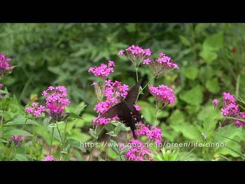 庭のクロアゲハとオナガアゲハ