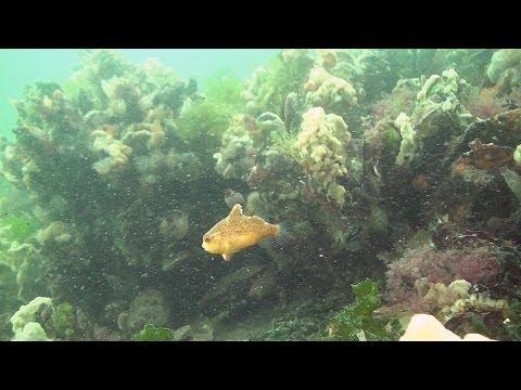 Baby-Seehase, Scharendijke,Grevelinger Meer,Niederlande