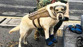 Собака, обнаружившая под обломками зданий более 50 человек, продолжает спасать жизни