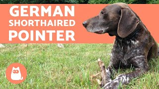 GERMAN SHORTHAIRED POINTER - Characteristics And Training