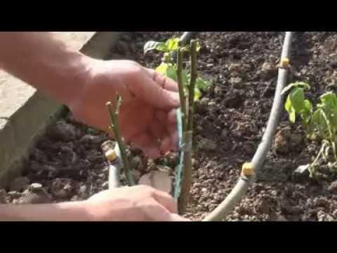 Come innestare gli agrumi  a cuneo e a spacco