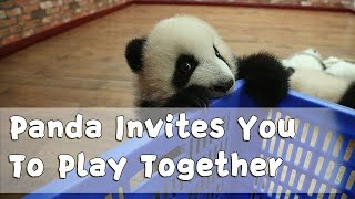 Energetic Baby Panda Invites You To Play Together | iPanda