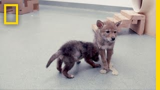 Researching How to Live With Coyotes   Short Film Showcase thumbnail
