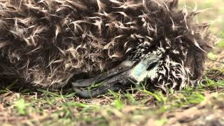 Midway Island -Unbelievable video about albatross on Midway Island and the plastic we consume.