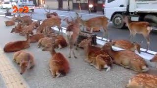 Люди проти оленів у Стокгольмі та нашестя щурів