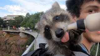 I Take My Baby Pet Raccoon Out In Public