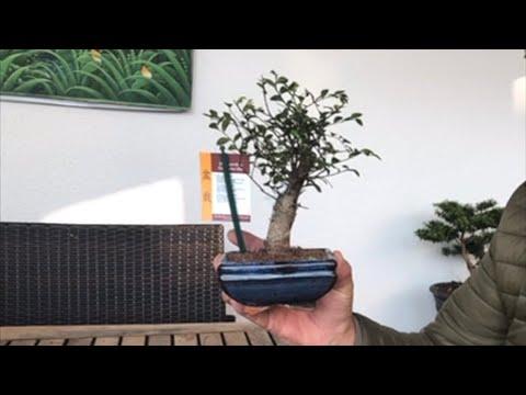 Anfänger Bonsai Chinesische Ulme für 5 Euro DIY