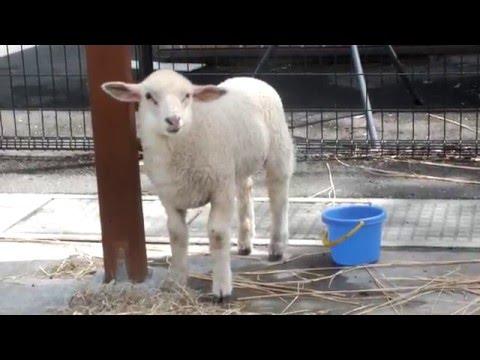 Cute lamb.かわいい子羊。