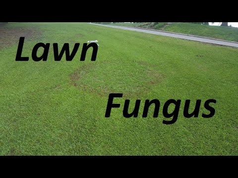 Video Lawn Fungus - Large Patch in Centipede Lawn