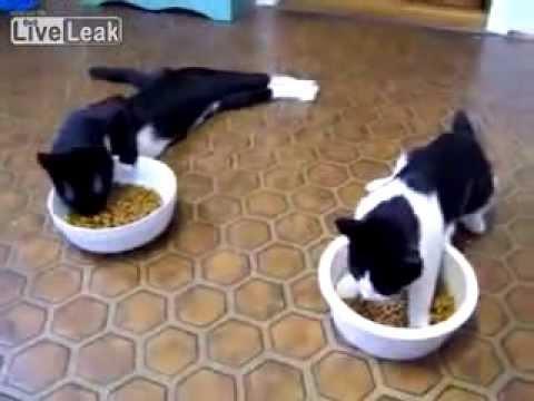 Khi mèo say rượu