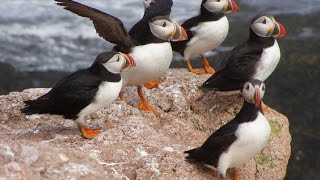 Awesome Beautiful Atlantic Puffin Birds Images