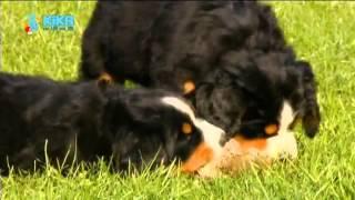 Löwenzähnchen 12 Keks und die Minikekse