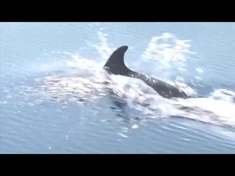 הדולפינים של סאם