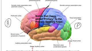 13C NS Brain Functional Areas of the Cortex