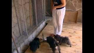 Померанский шпиц - прелестный мишка