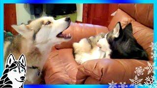 Siberian Huskies Howling For Dinner Samye Populyarnye Video