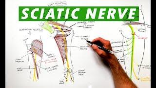 Sciatic Nerve - Anatomy Tutorial