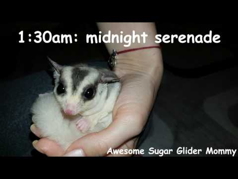 A Day In The Life Of A Sugar Glider Owner
