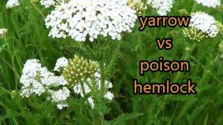 Wild Carrot Vs Hemlock