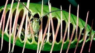 Венерина мухоловка, Росянка | Как хищные растения поедают свою жертву?!