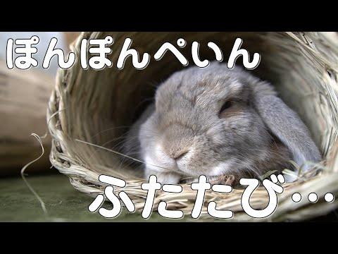 , title : '【復活報告】おなかが痛いうさぎさん【ホーランドロップ】