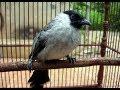burung kutilang gacor suara kicau pikat burung kutilang panjang