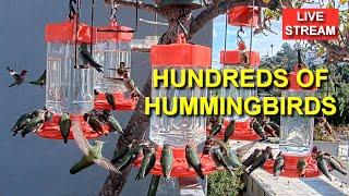 Live Hummingbird Feeder Cam, Bird Feeder, Studio City, California