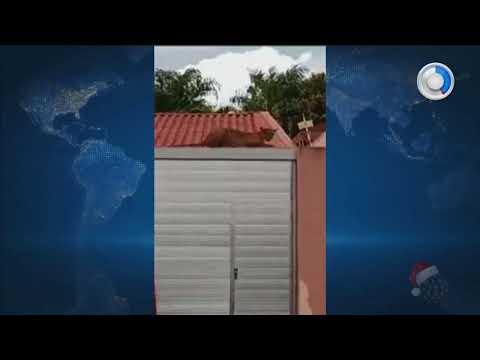 Onça invade ruas e casas em Andirá - SBT Paraná (25/12/17)
