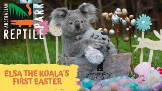 ELSA THE KOALAS FIRST EASTER! | THE AUSTRALIAN REPTILE PARK