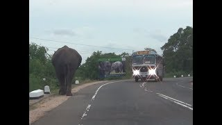 Huge elephant walking along the Habarana main road !