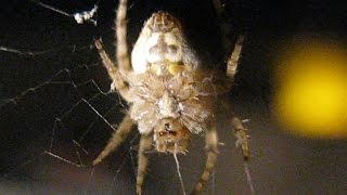 Mysterious Spider With Strange Face